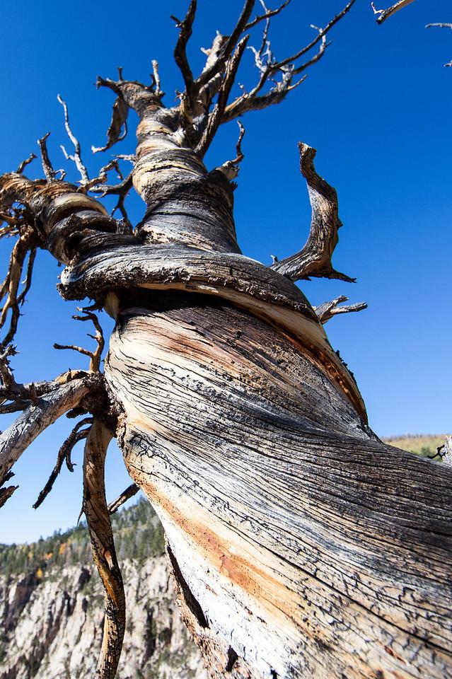 A dead twisted Pinyon pine.