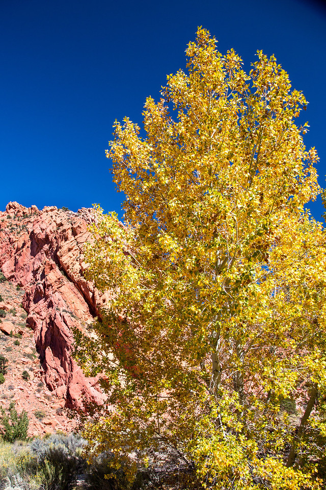 I find it hard to pass by a brilliant golden tree in front of red rocks and a deep blue sky.