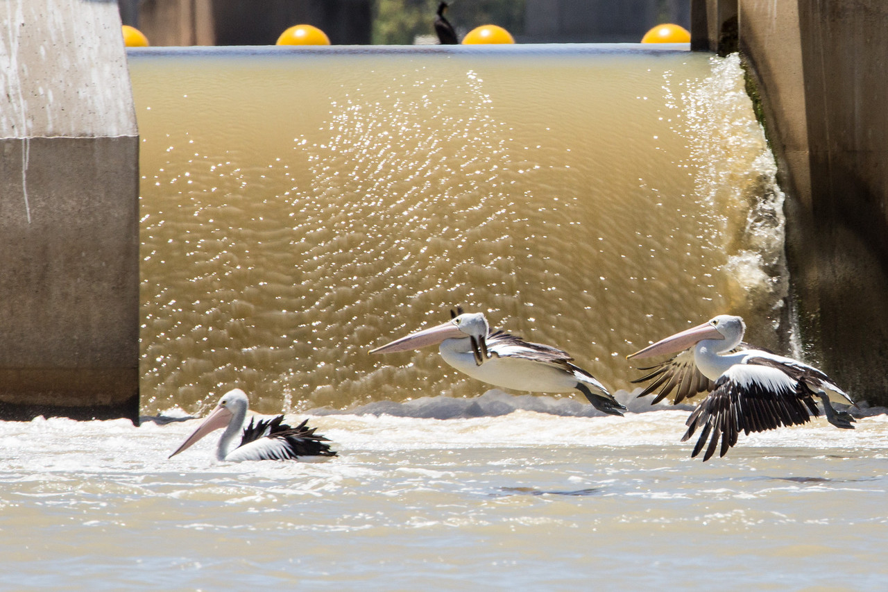 The water released at Lock #1 made for easy fishing by the pelicans