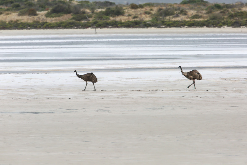 Emus crossing a salt flat in the Coorong