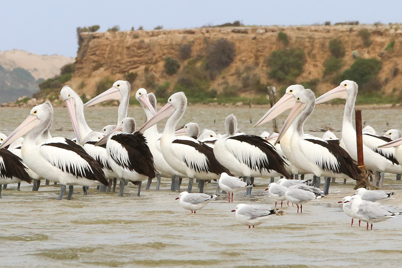 The Coorong is prolific with Australian pelicans (and of course the common sea gull)