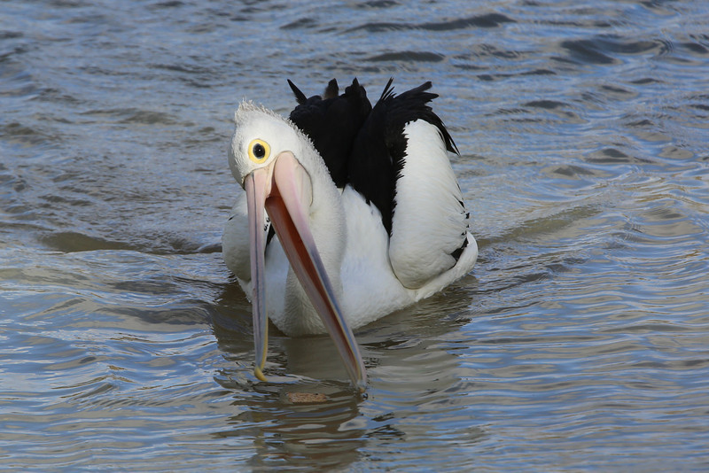 Australian pelican feeding