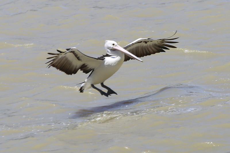 Australian pelican coming in for a landing