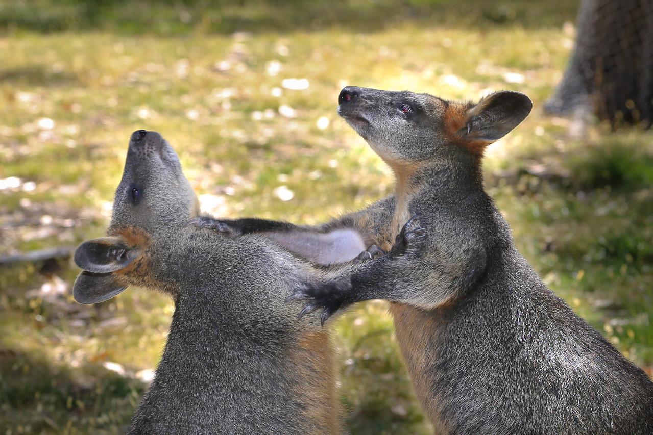 Wallabies sparring