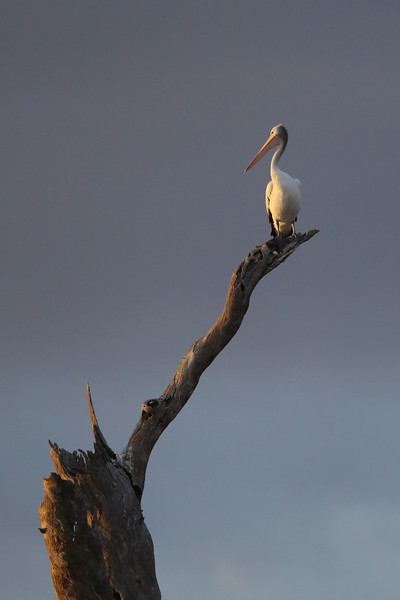 High in a tree top sits this Australian pelican