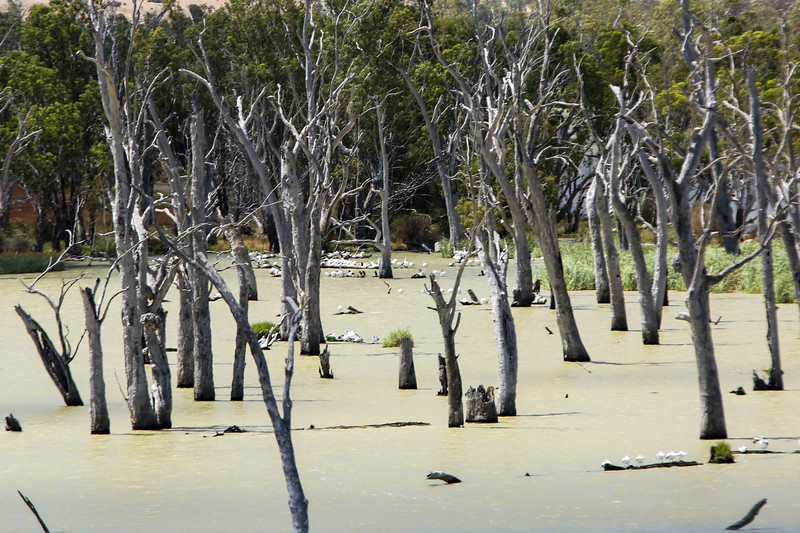 Dead trees in River Murray back waters
