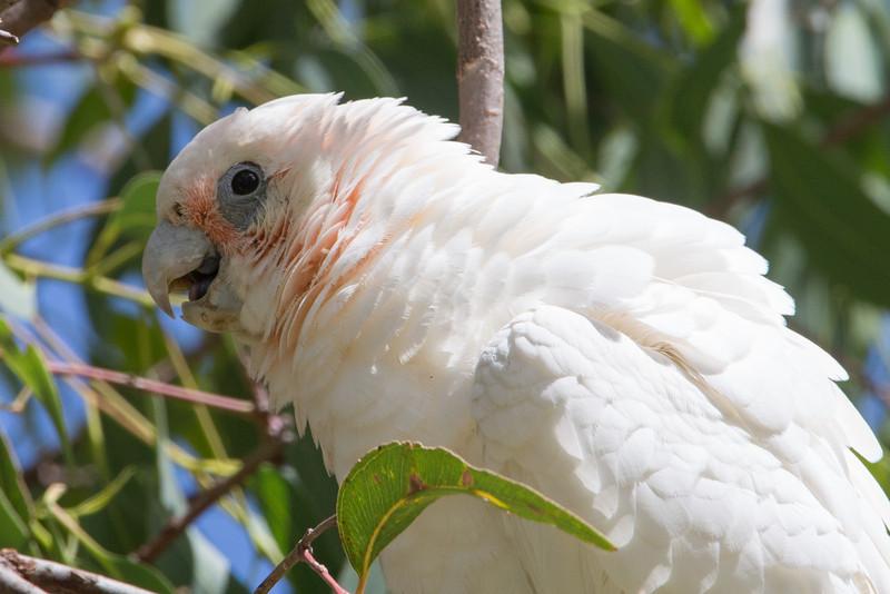 A birds-eye view of a corella