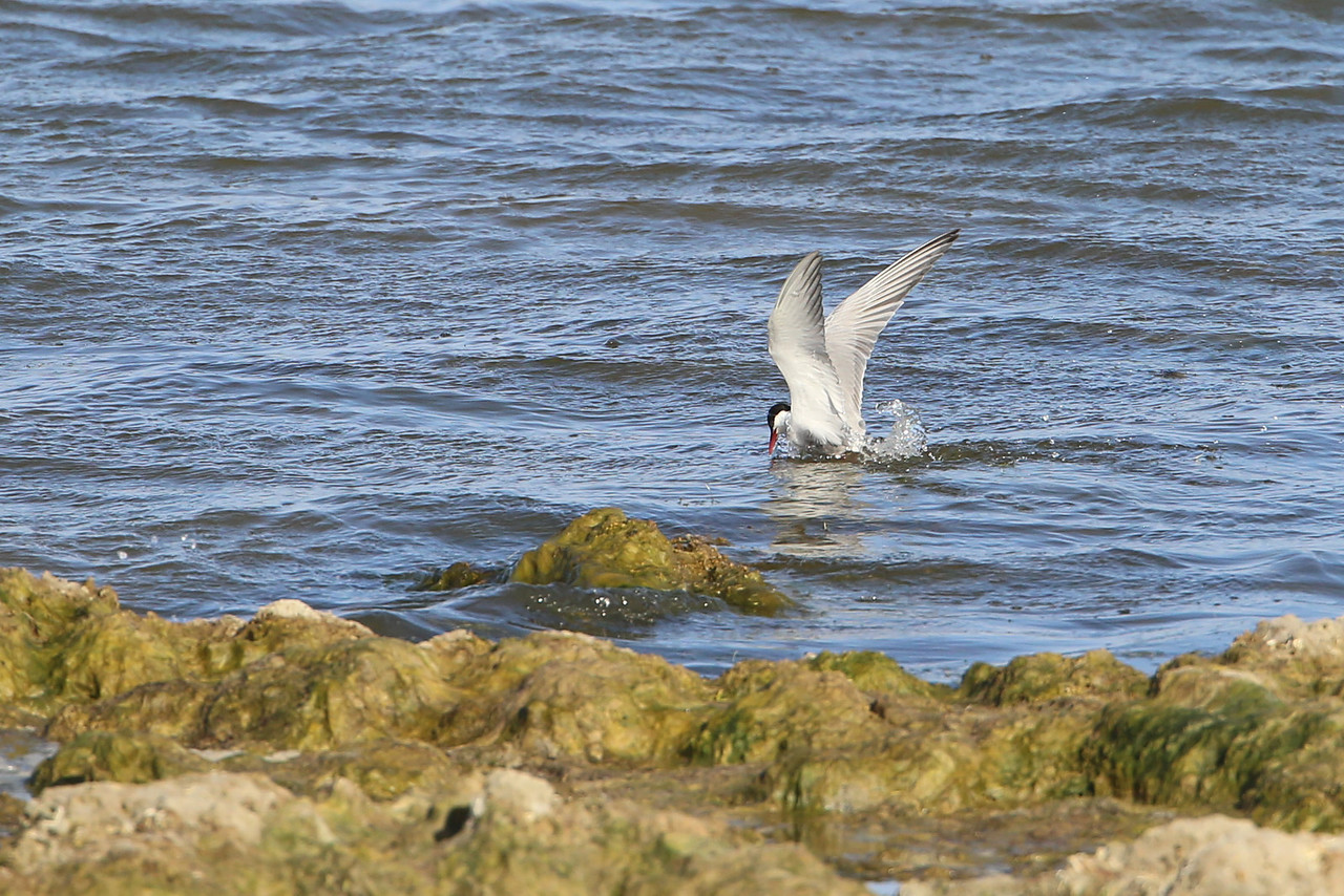 A tern diving into the Coorong for a meal