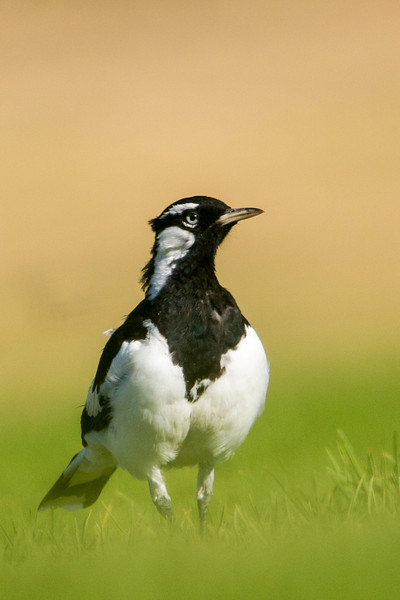 A magpie lark in Adelaide