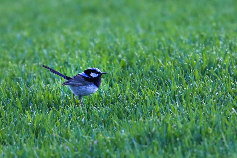 A tiny blue wren
