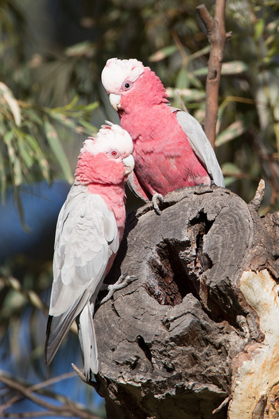 Galahs are almost always found in pairs