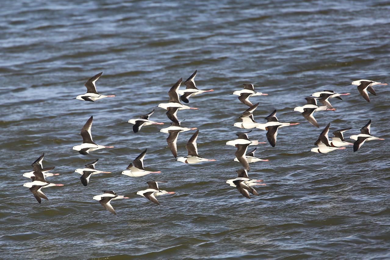Black-winged stilts in formation