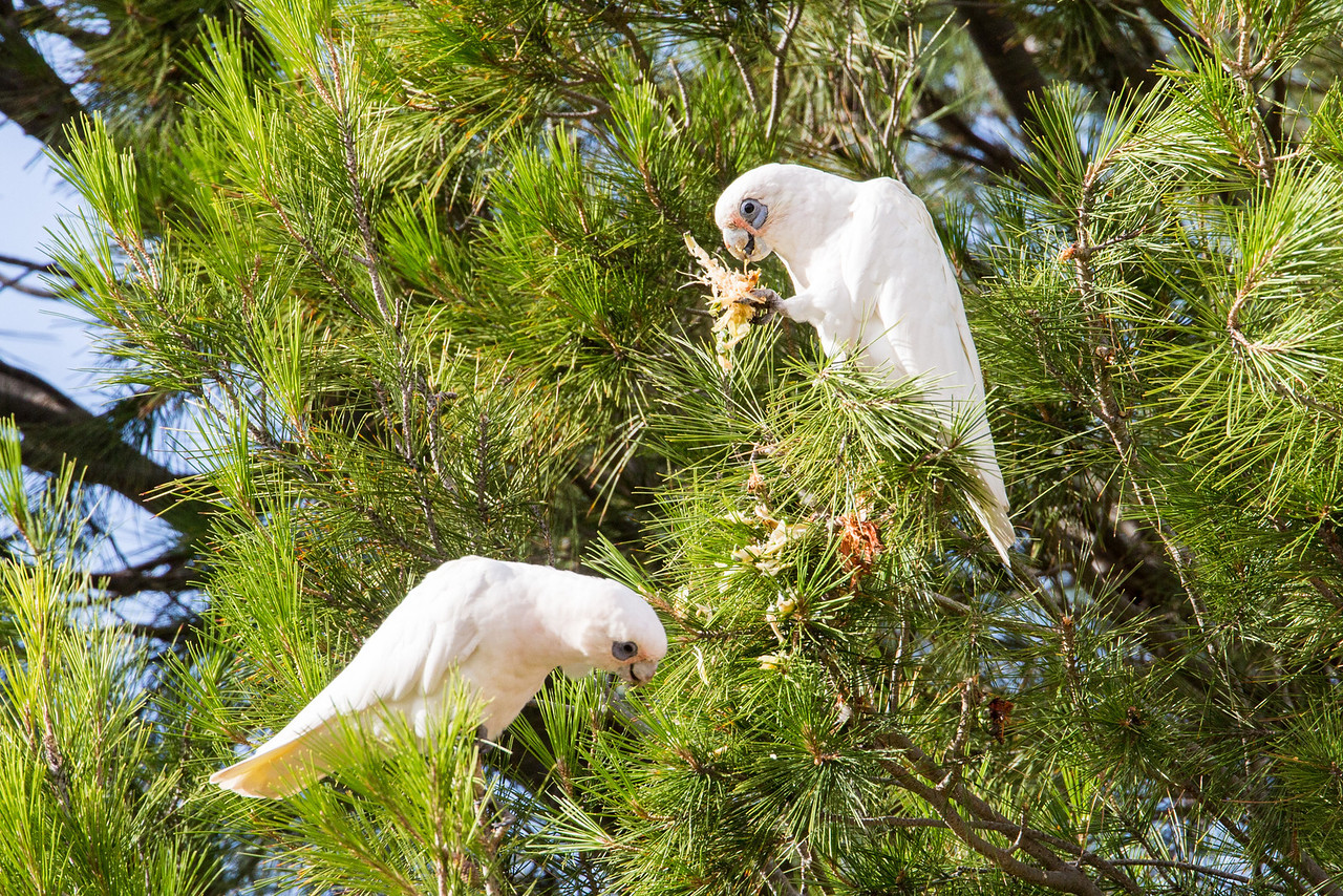 The common and playful corella