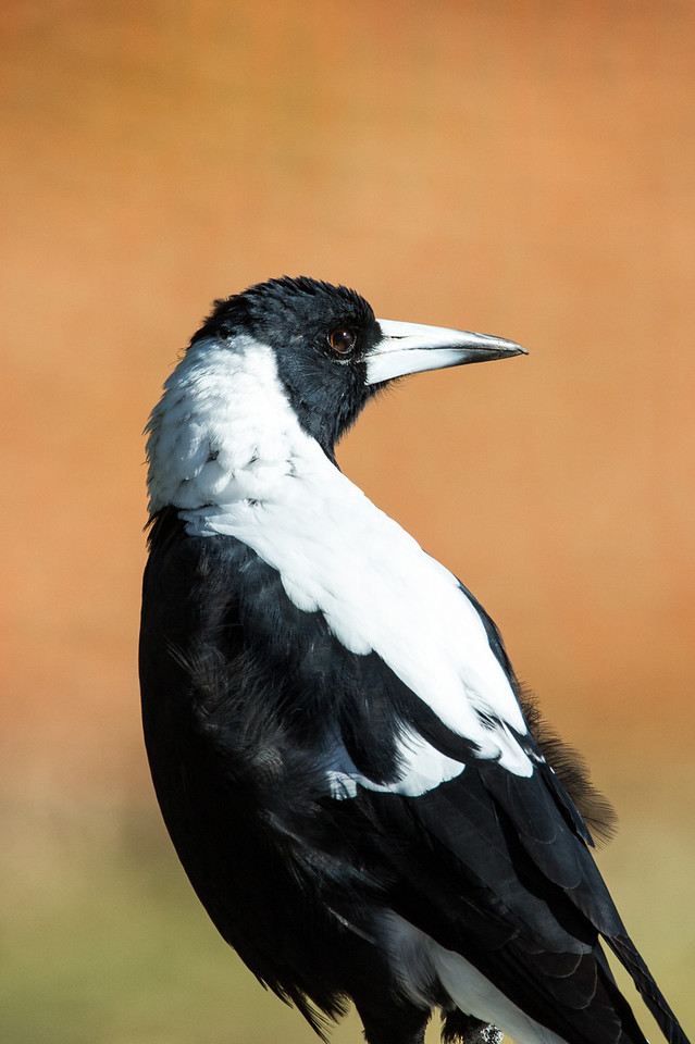 Magpie, a larger bird than the magpie lark