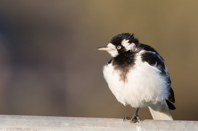 Windblown magpie lark