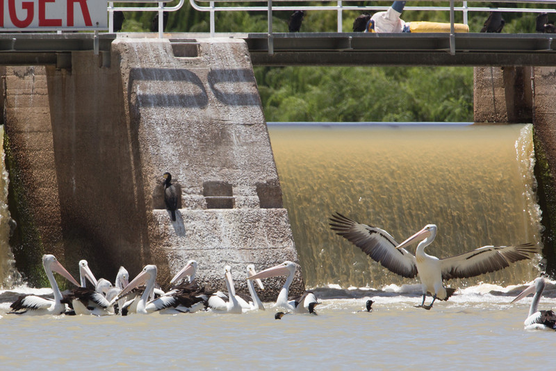 Australian pelicans at Lock #1