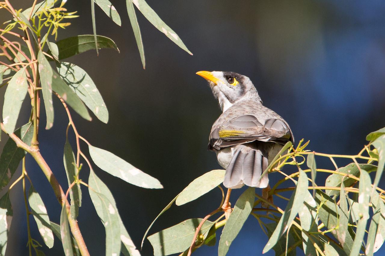 Myna bird, a predator of other birds' eggs