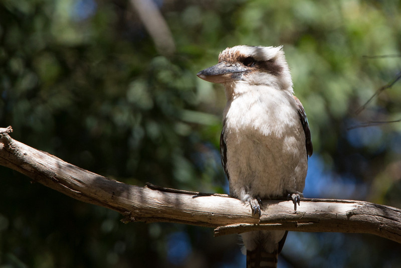Kookaburra, famous for its loud call