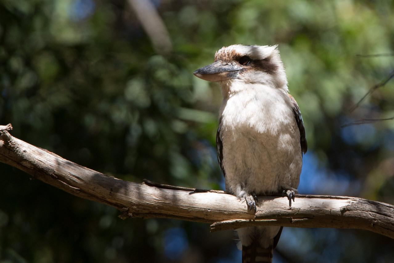 Kookaburra, famous for its loud call