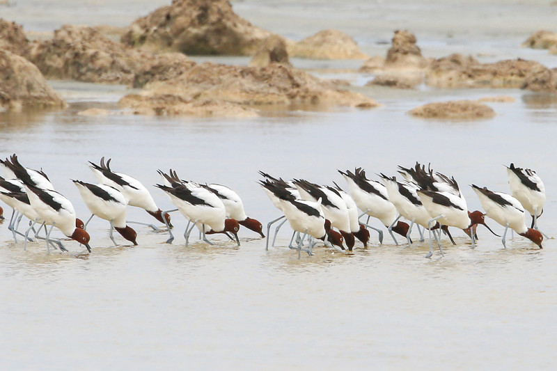 """Birds of a feather flock together"" was never more true than for avocets"