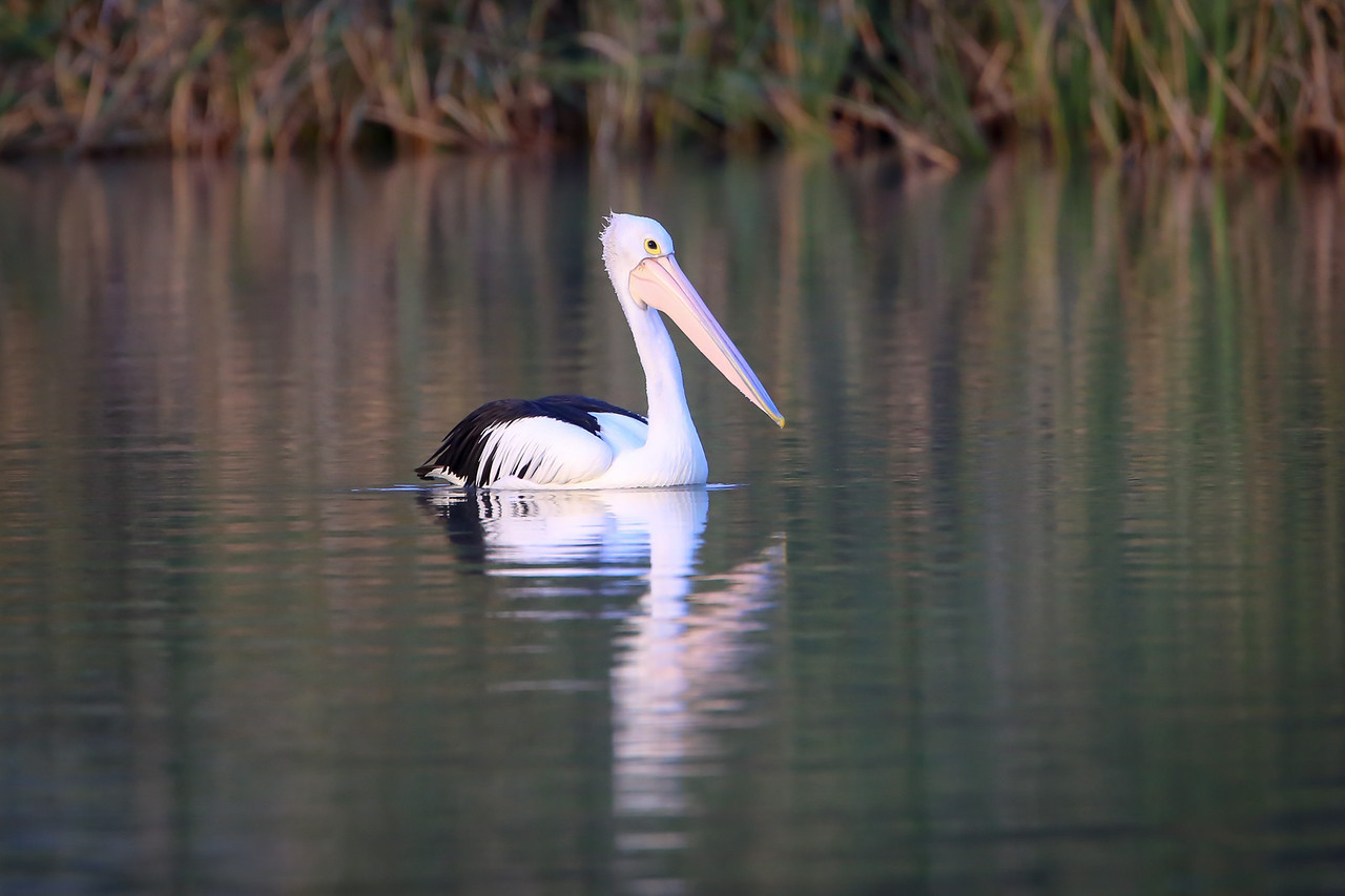 Morning light makes this pelican look almost pink