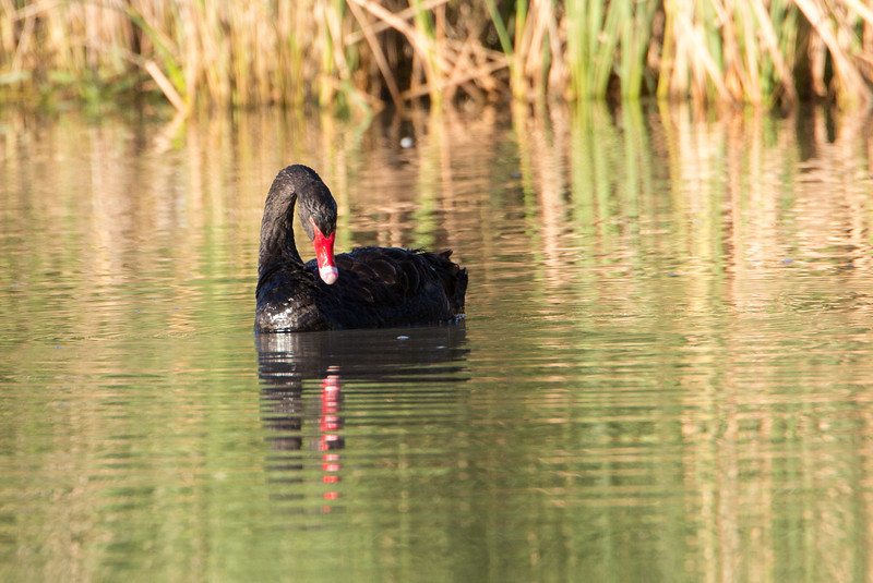 Black swan in morning light