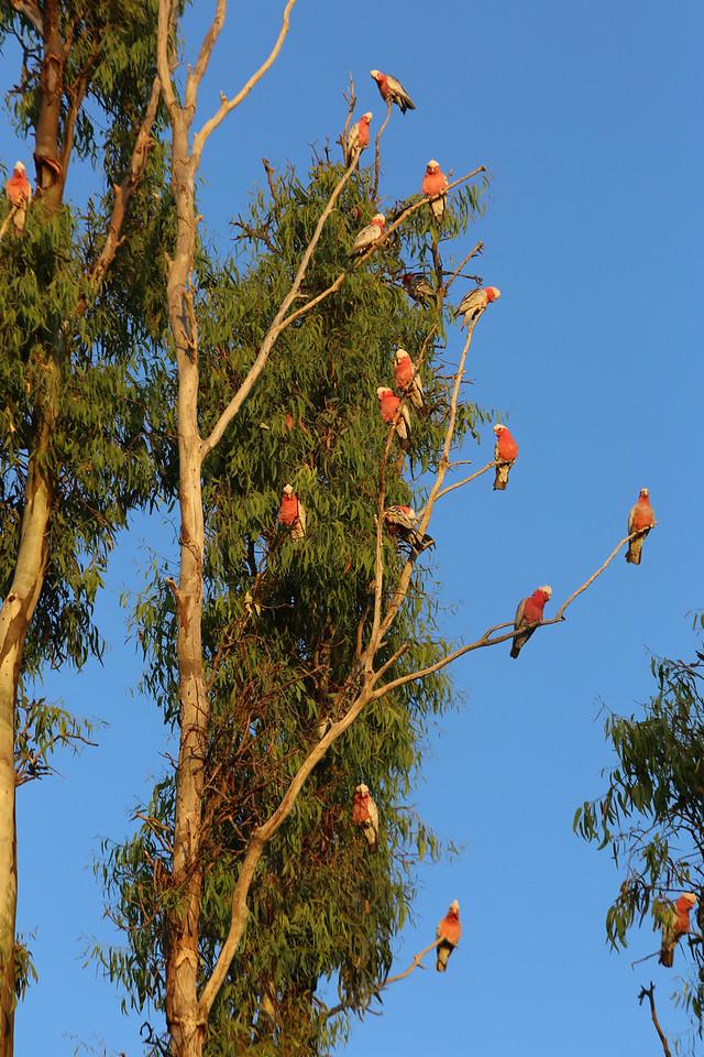 Tree full of squawking galahs