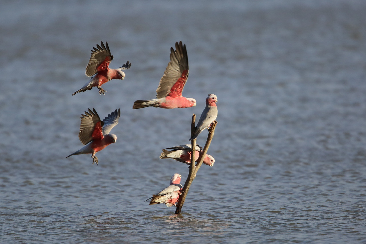 Galahs fighting for a perch