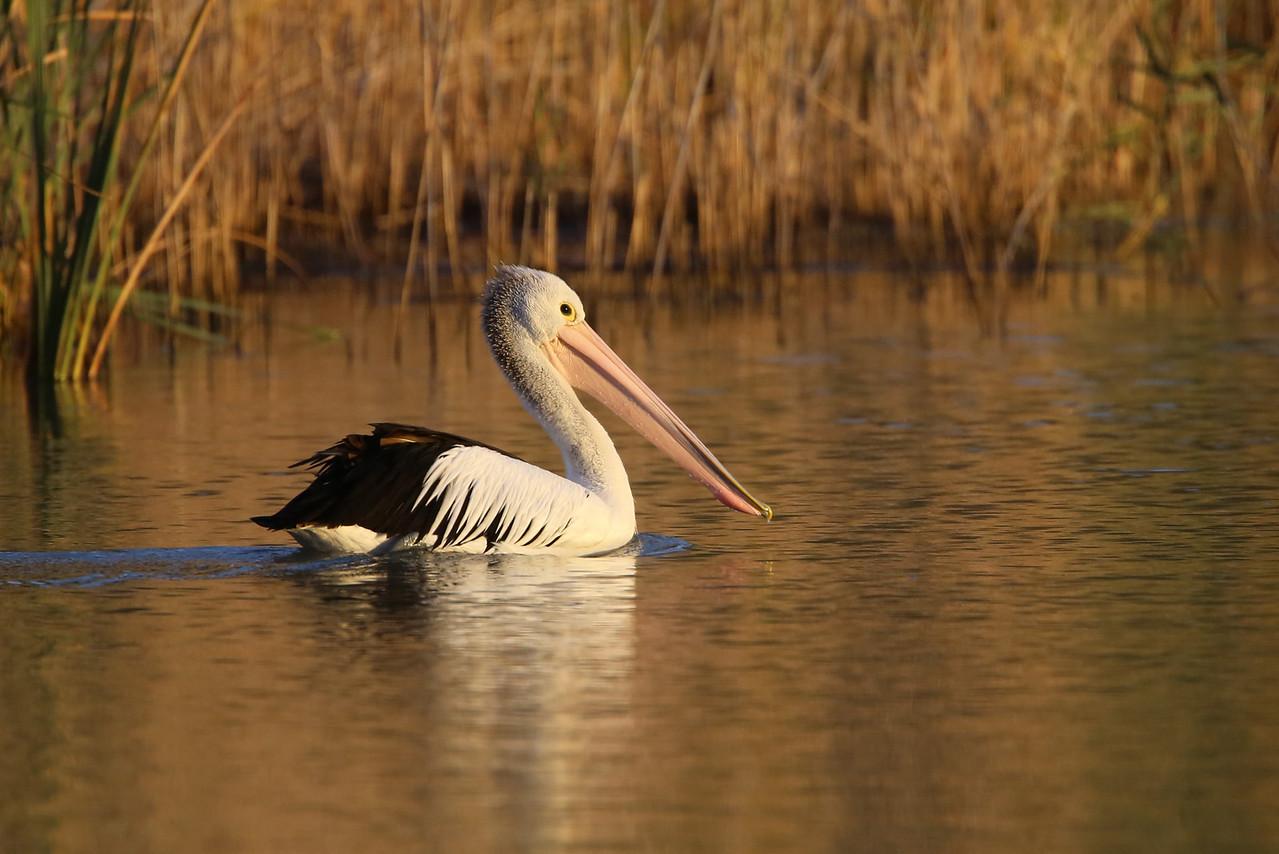 The Australian White Pelican