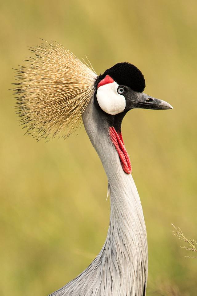 Grey-crowned crane