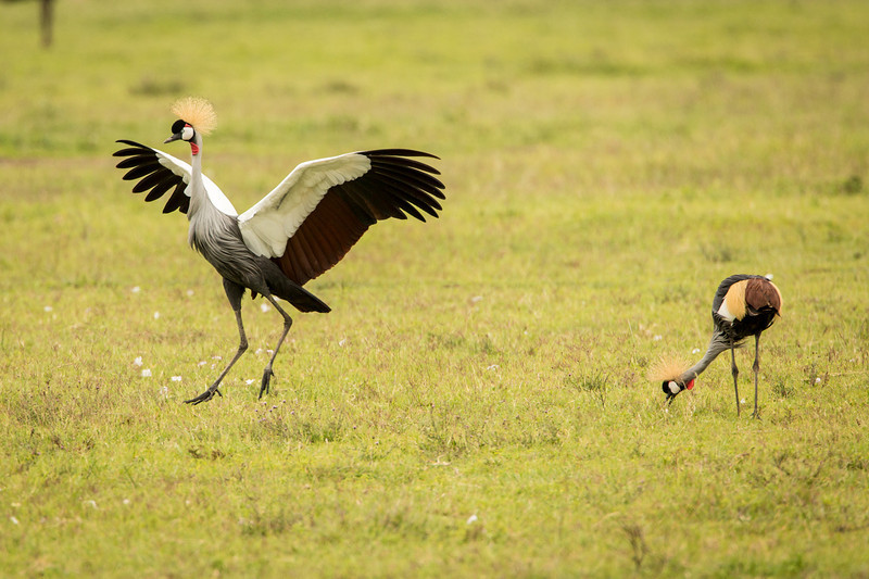 Grey-crowned crane performing mating dance but ignored by its partner