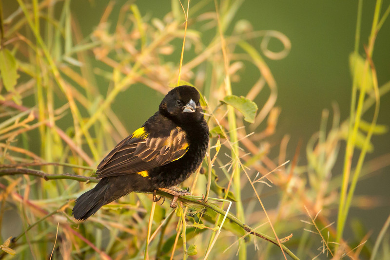 Yellow-mantled widow bird