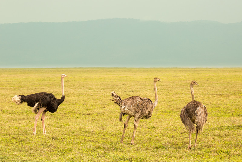 Male (left) and female (right) ostriches