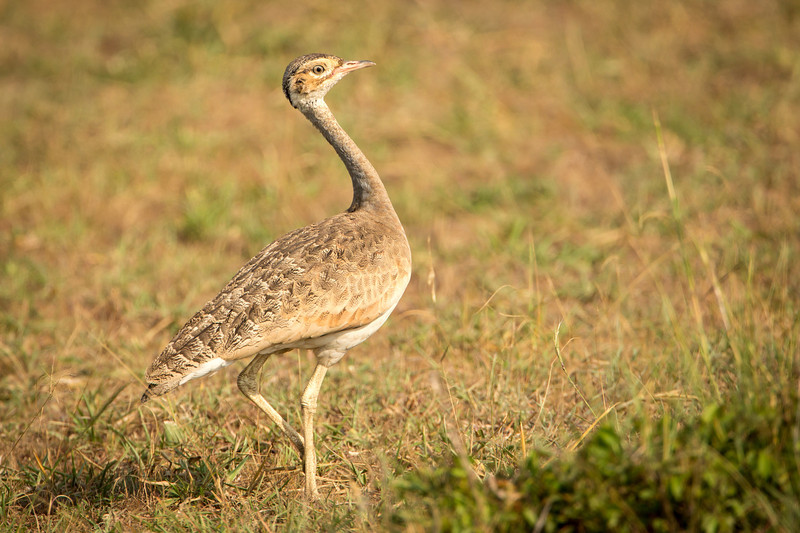 Black-bellied bustard (female)