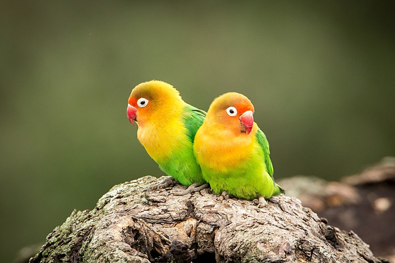 Pair of Lillian lovebirds