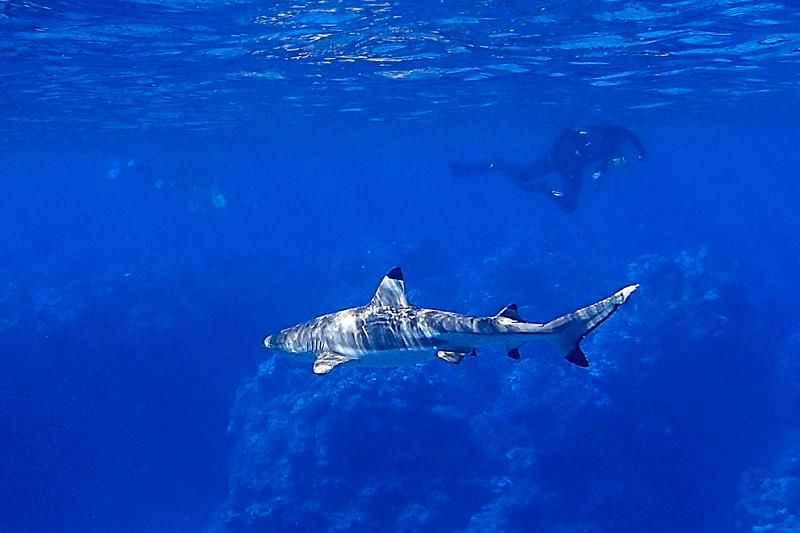 Black tip reef shark, Penrhyn Atoll, Cook Island