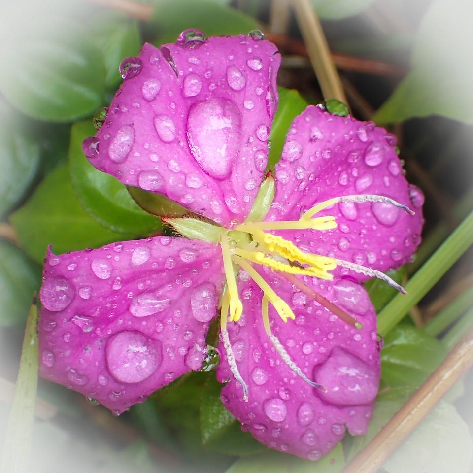 Flower in Samoa