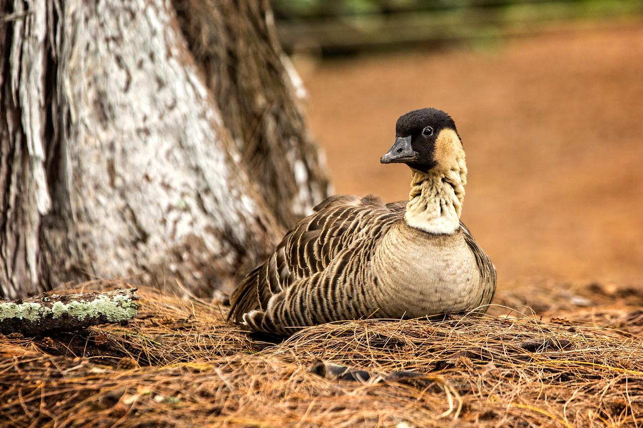 Nene bird, also known as Hawaiian goose