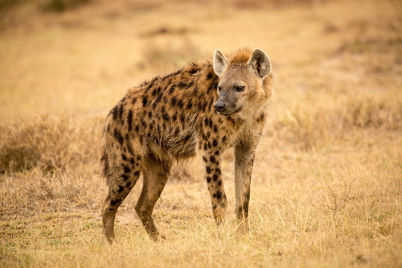 Here's one of those handsome hyaenas posing for me.
