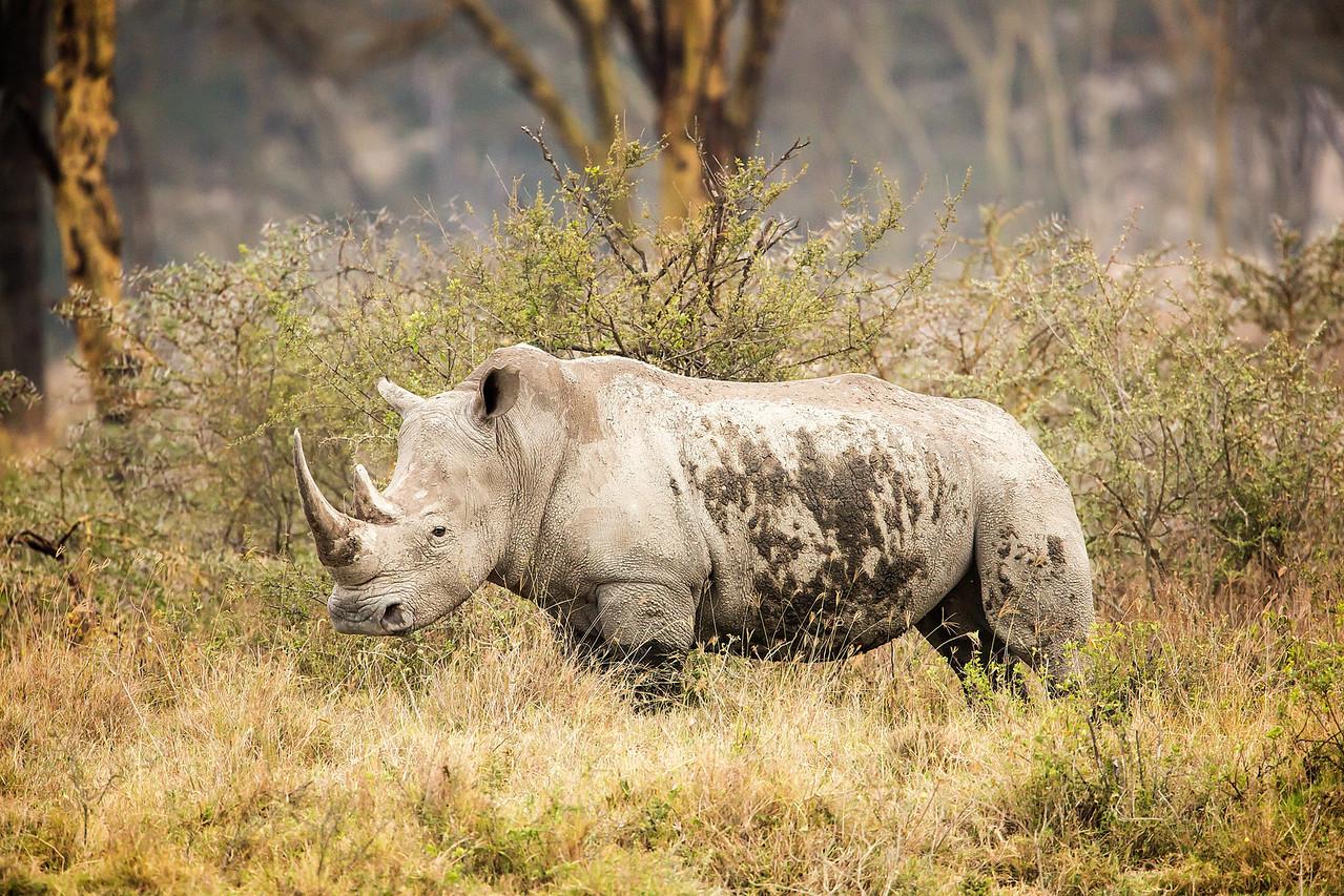 White Rhino at Lake Nakuru.