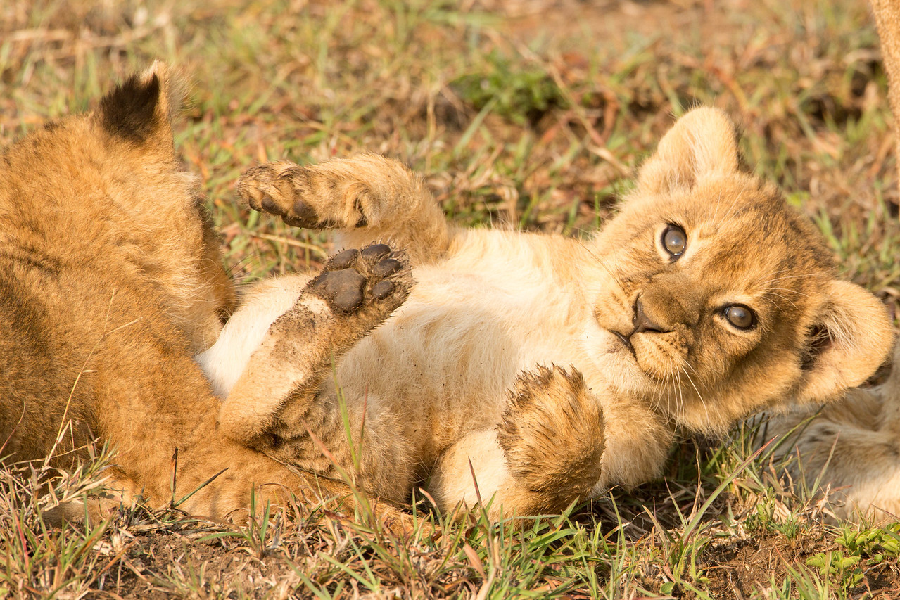 Cubs at play.