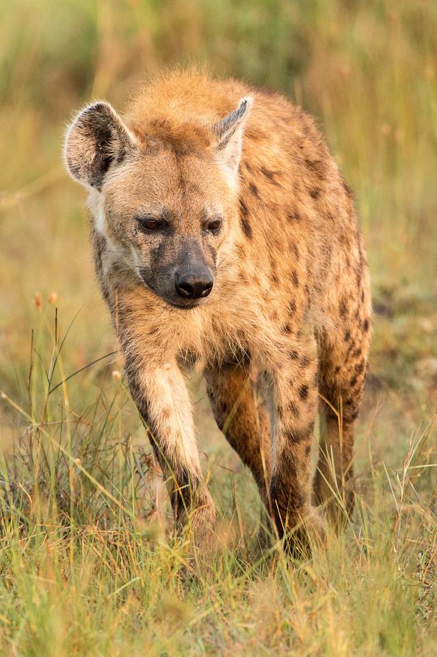 Another hyaena stalking an antelope.