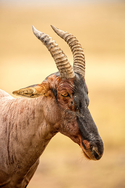 Adult male hartebeest live a solitary life within their marked territory.