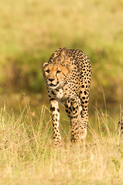 On one of our last days we saw three cheetah, a mother and two youngsters frolicking about.