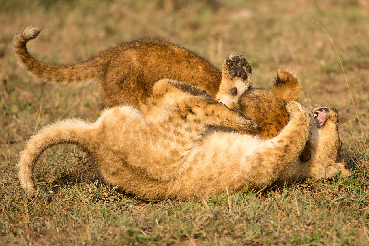 Play is an important part of lion cub activity. It helps prepare them for adult life, just as it does for humans.