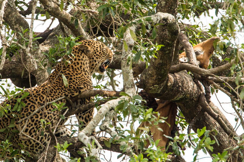 A leopard high in a tree with his kill, an antelope.