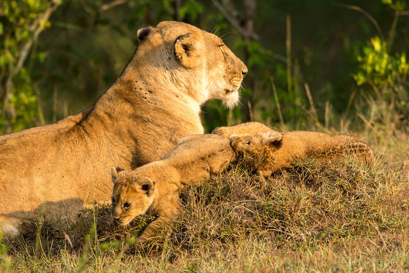 We saw lots of lions and their cubs in the Masai Mara.