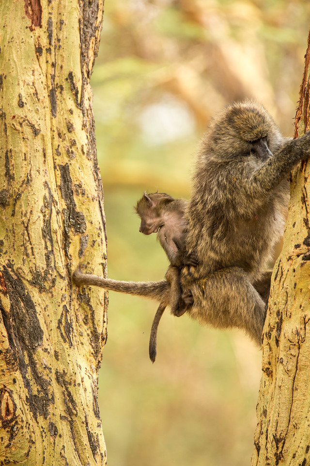 Note how this baboon balances herself by using her tail.