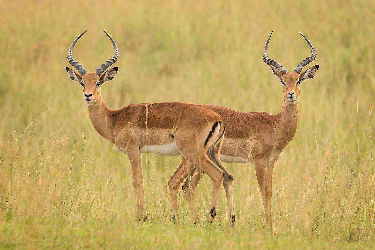 Elegant impalas.