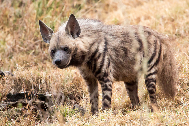 As we left camp at Lake Nakuru we spotted this striped Hyaena.